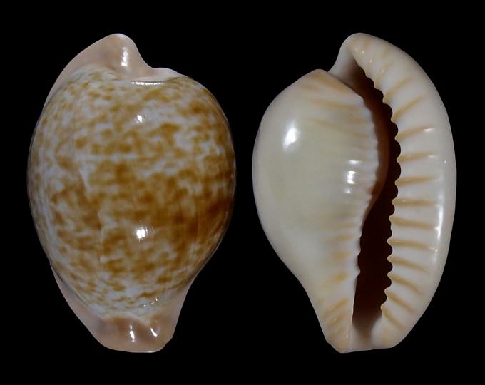 Picture of Cypraeovula fuscorubra gondwanalandensis