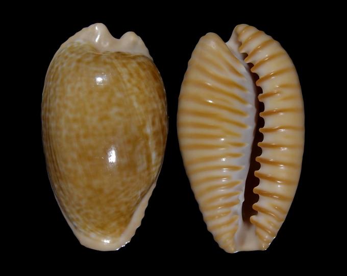Picture of Cypraeovula fuscodentata fuscodentata