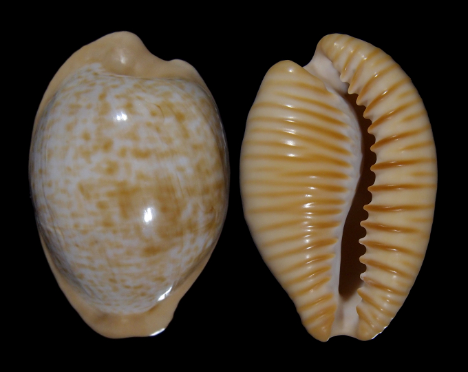 Picture of Cypraeovula fuscodentata sphaerica