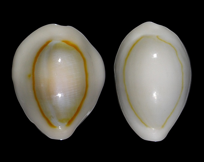 Image of Monetaria annulus