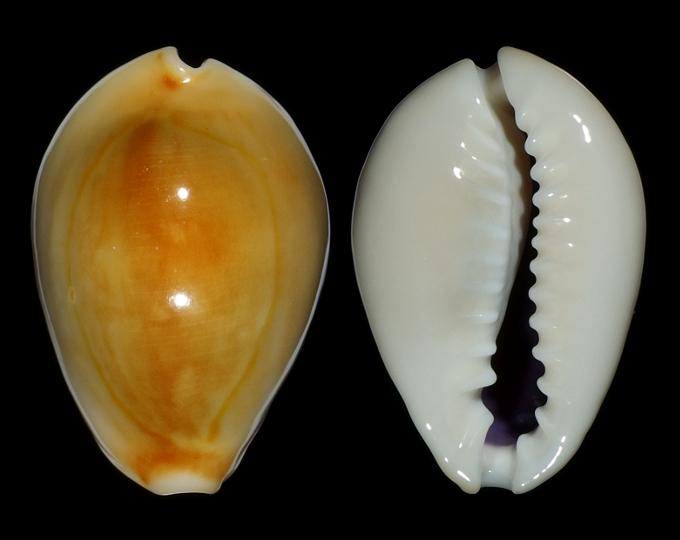Picture of Monetaria annulus