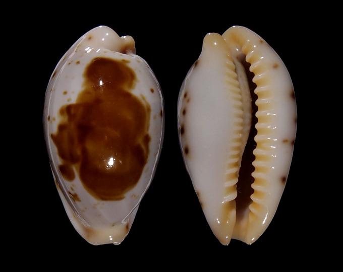 Image of Palmadusta saulae saulae