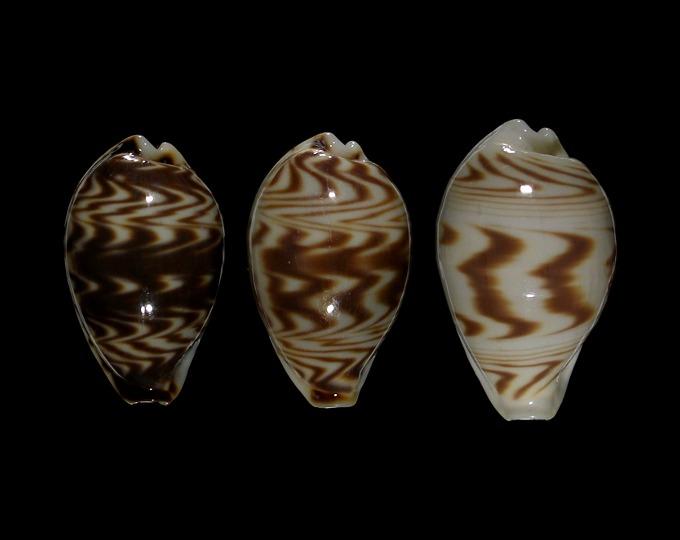 Image of Palmadusta diluculum diluculum