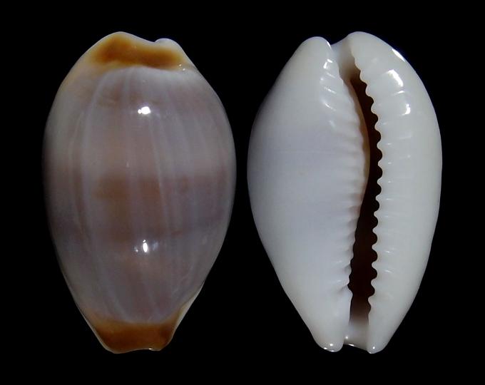 Image of Palmadusta artuffeli