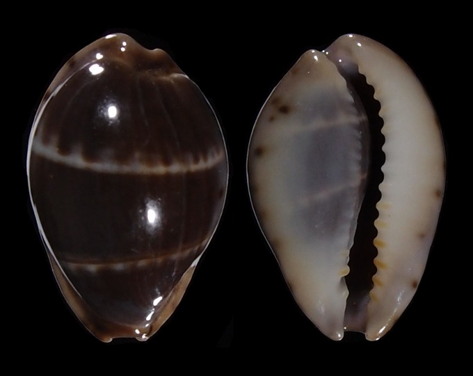 Image of Palmadusta androyensis