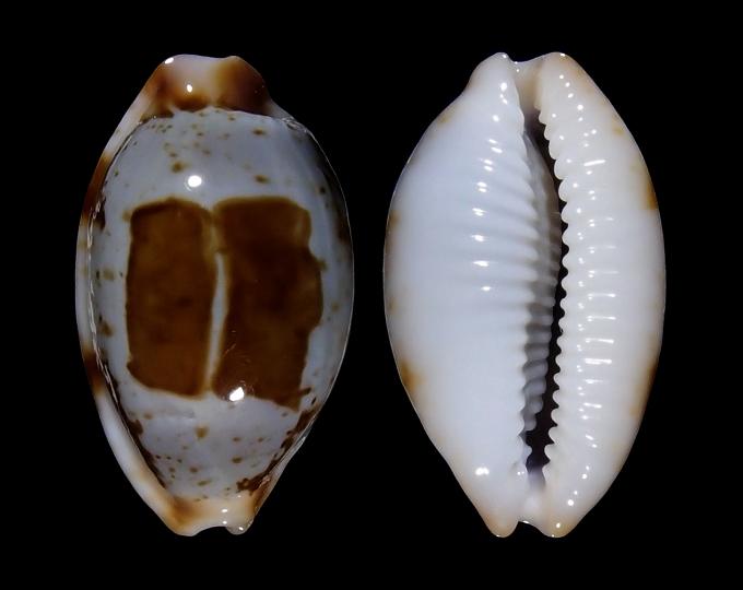 Image of Bistolida stolida clavicola