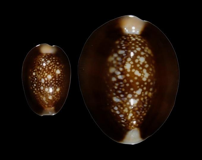 Image of Monetaria caputserpentis