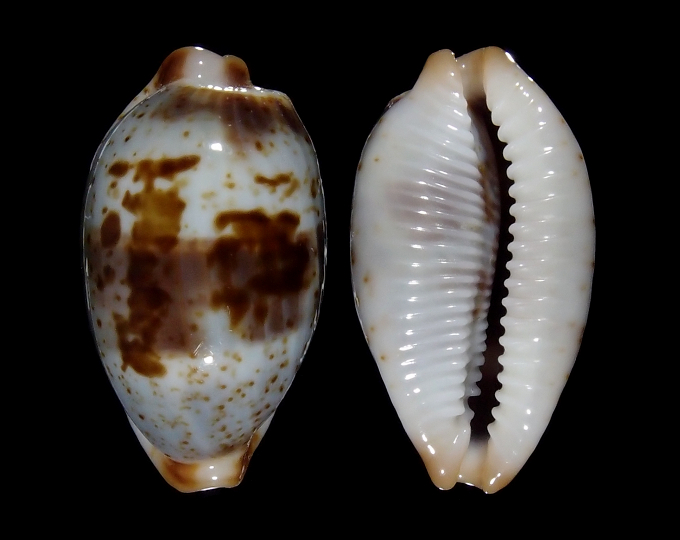 Picture of Bistolida erythraeensis
