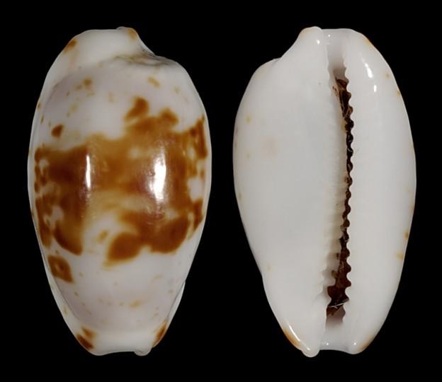 Picture of Bistolida goodallii fuscomaculata