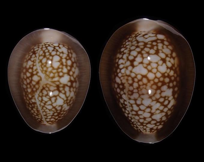 Image of Monetaria caputophidii caputophidii