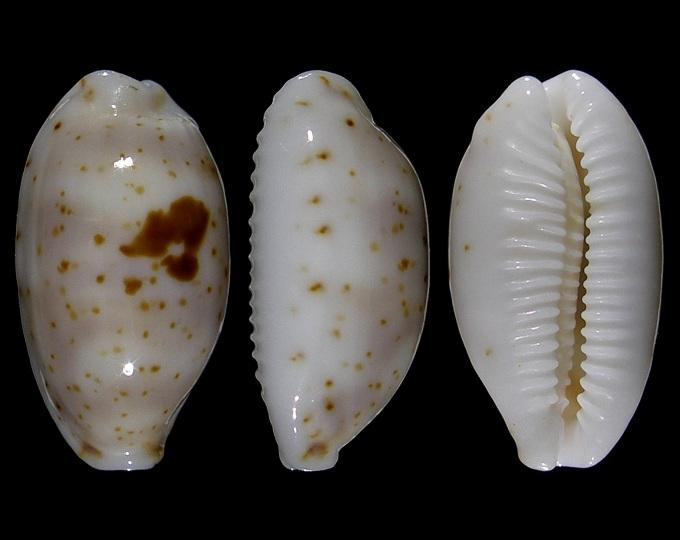 Image of Bistolida hirundo francisca
