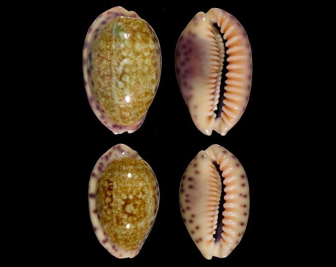 Image of Ovatipsa chinensis variolaria