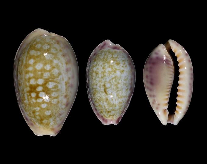 Image of Ovatipsa chinensis violacea