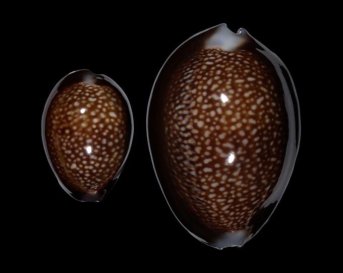 Image of Monetaria caputdraconis caputdraconis
