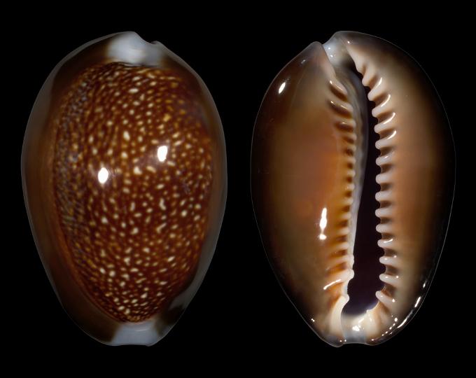 Picture of Monetaria caputdraconis caputdraconis