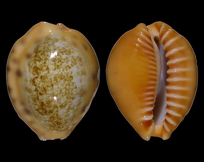 Image of Ovatipsa coloba