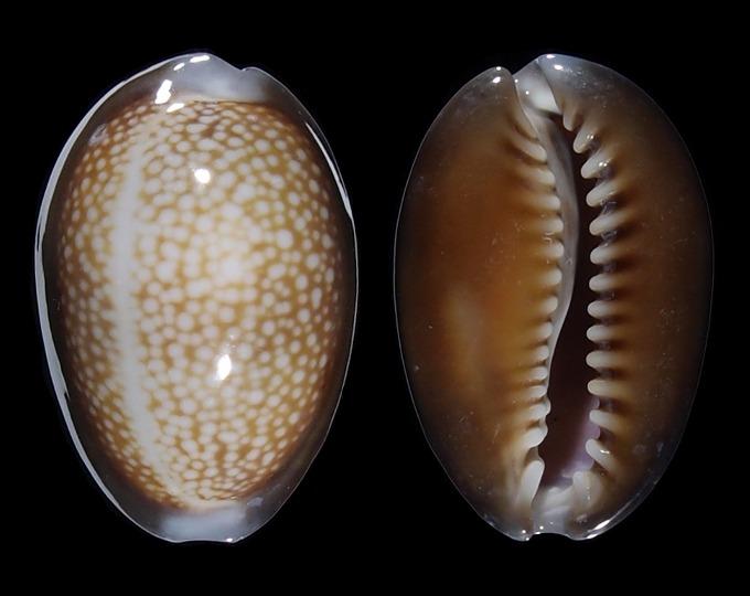 Image of Monetaria caputdraconis poppei