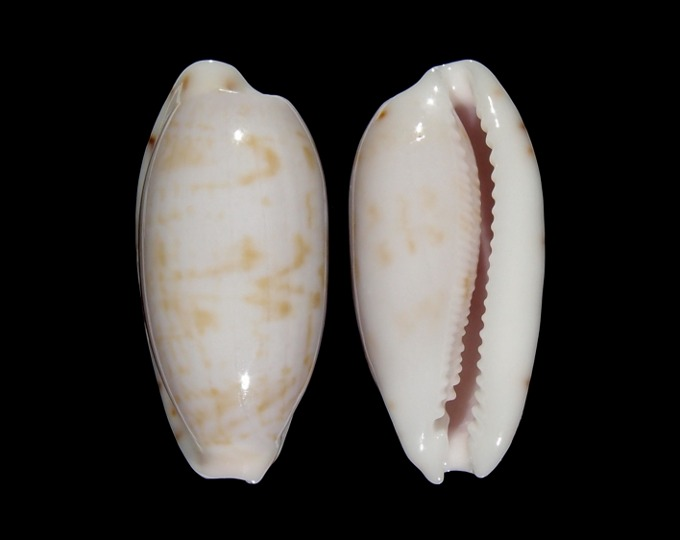 Picture of Talostolida subteres subteres