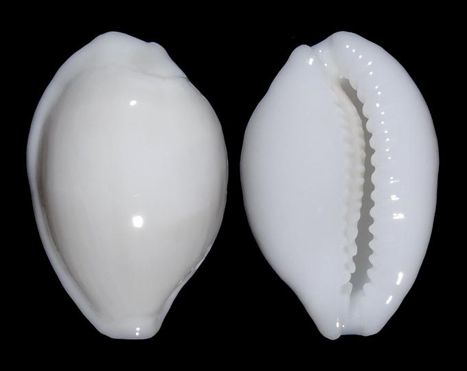 Image of Cribrarula melwardi