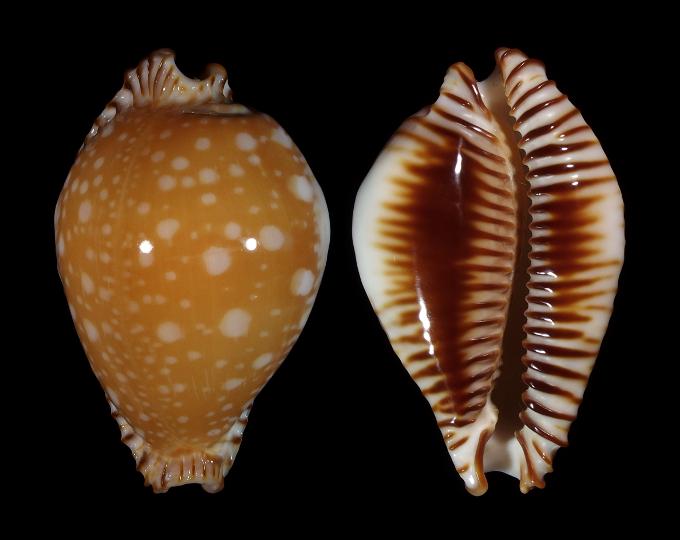 Picture of Perisserosa guttata guttata