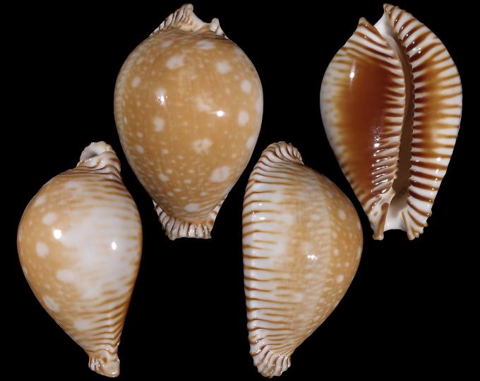 Picture of Perisserosa guttata azumai