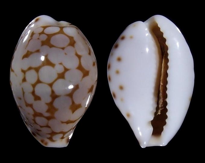 Picture of Cribrarula pellisserpentis