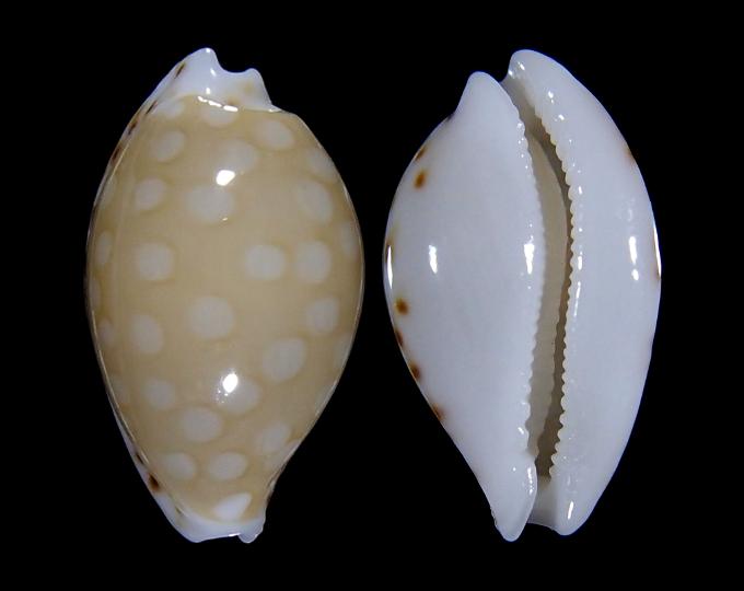 Image of Cribrarula cumingii compta