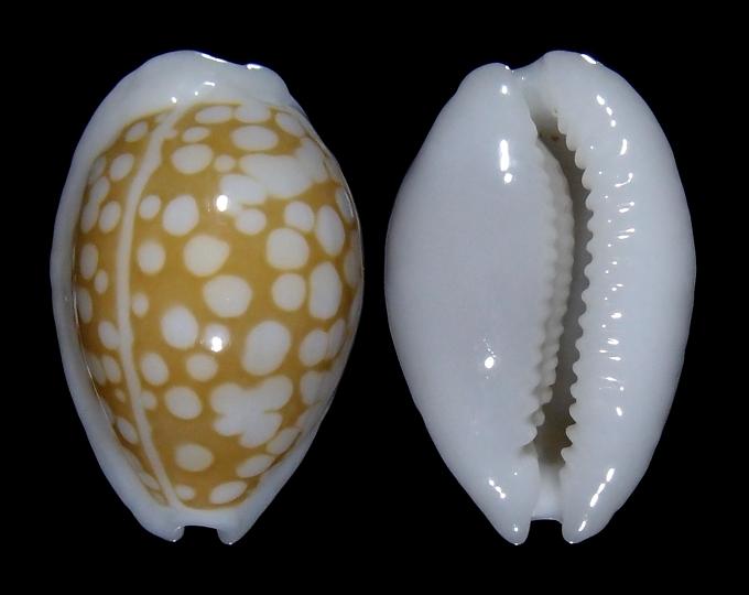 Image of Cribrarula catholicorum