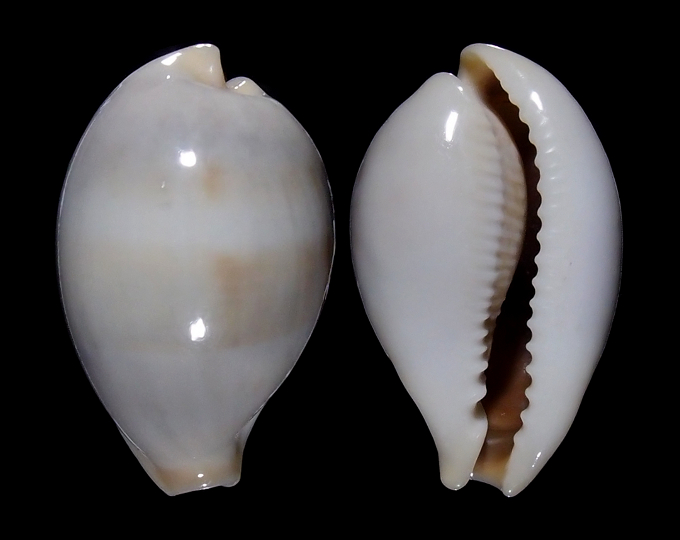 Image of Erronea angioyorum