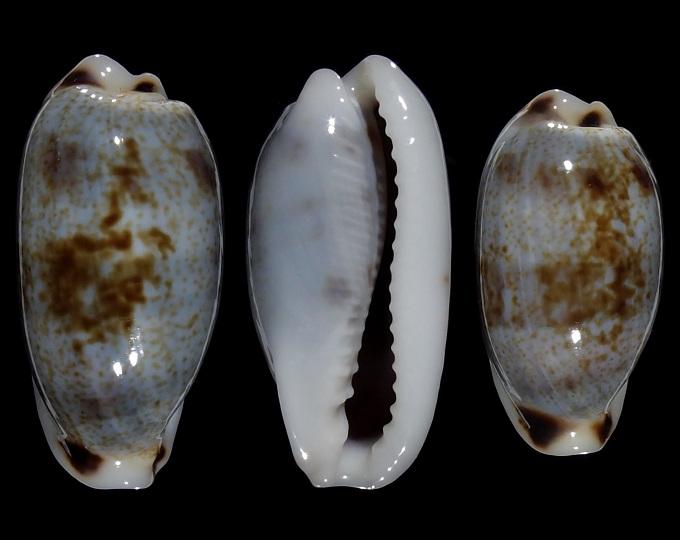 Image of Erronea cylindrica sowerbyana