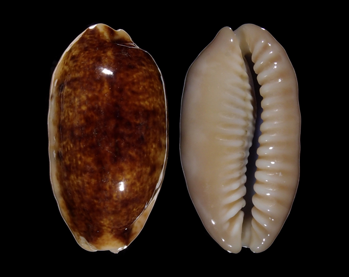 Picture of Erronea caurica caurica f. longior