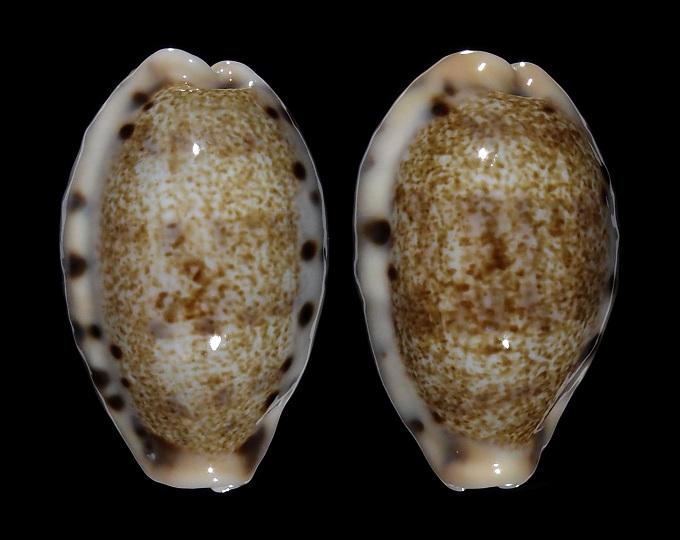 Image of Erronea caurica quinquefasciata f. nabeqensis