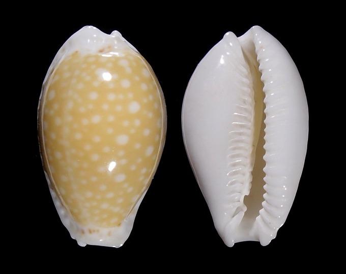 Image of Naria cernica cernica