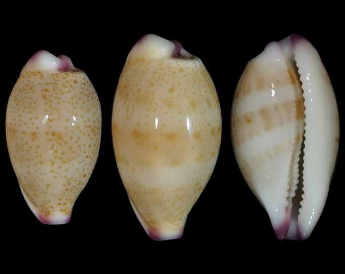 Image of Purpuradusta microdon microdon