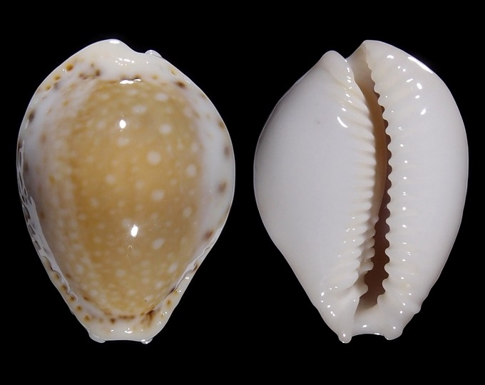Image of Naria cernica viridicolor