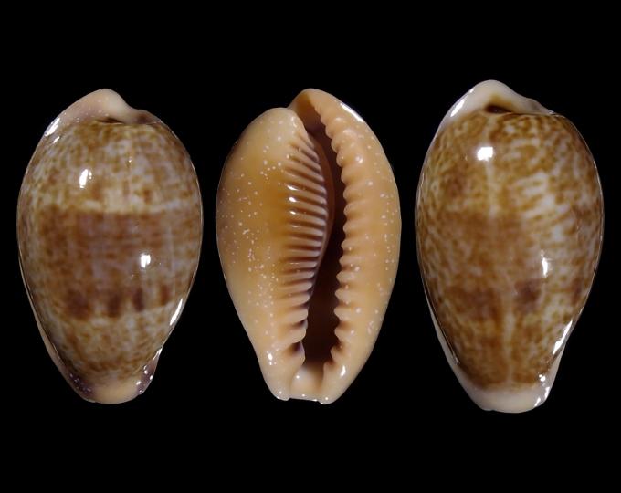 Picture of Ficadusta bregeriana bregeriana