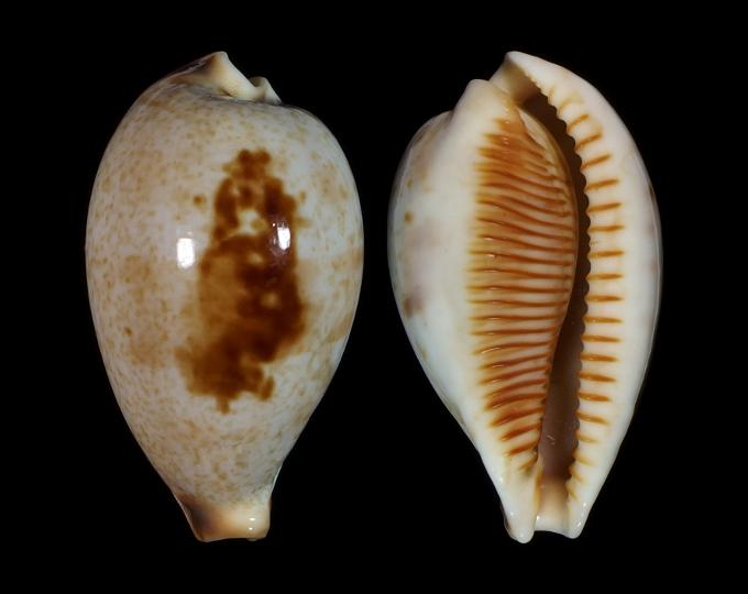 Picture of Ficadusta pulchella novaebritanniae