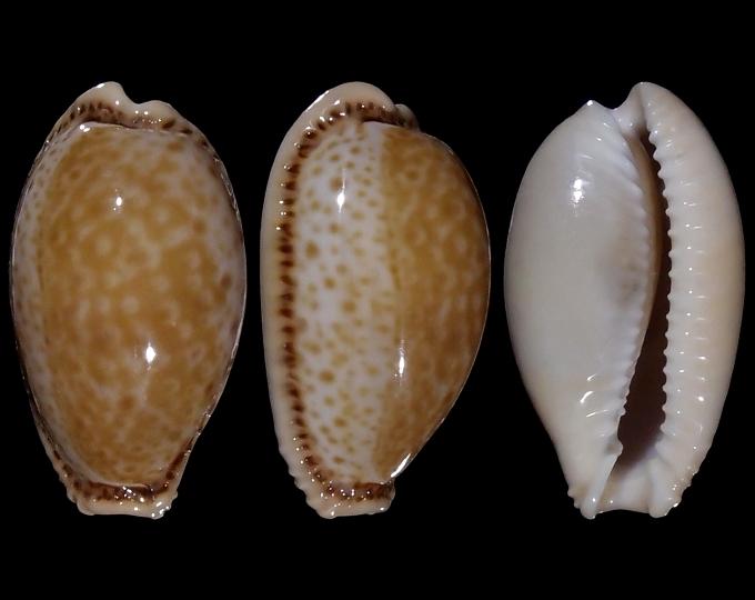 Image of Naria spurca spurca