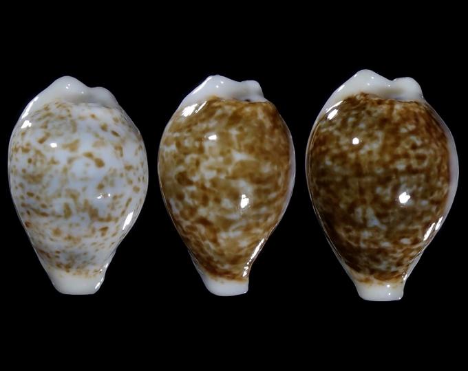 Image of Eclogavena dayritiana dayritiana f. dani