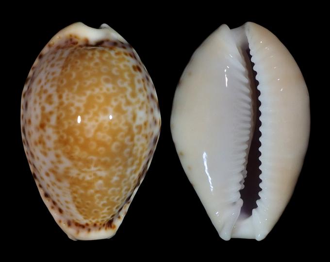 Image of Naria spurca verdensium