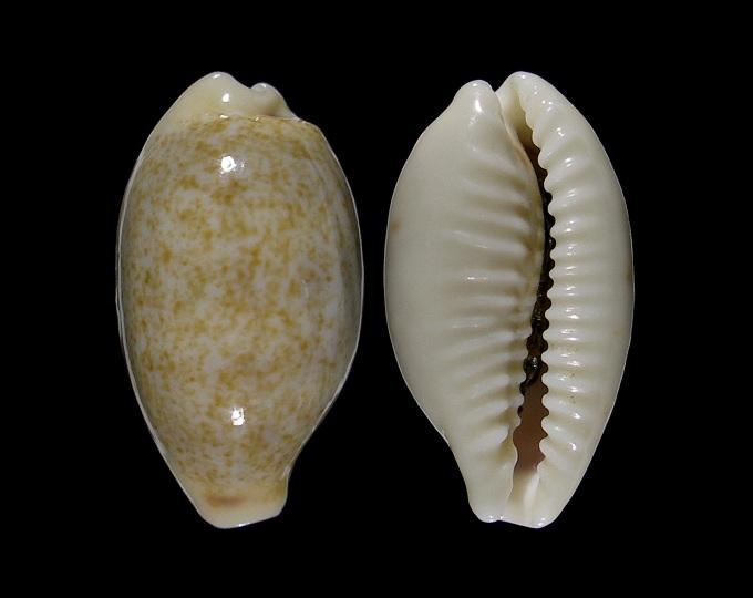 Image of Blasicrura summersi