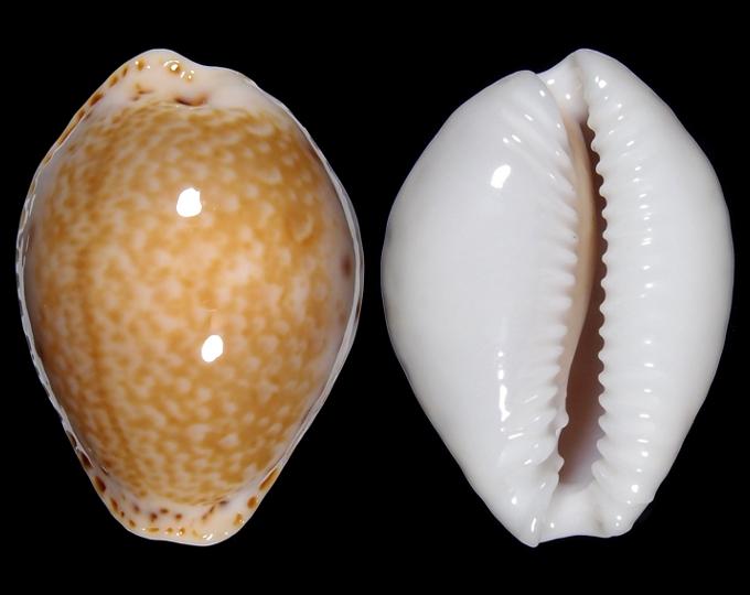 Image of Naria acicularis acicularis