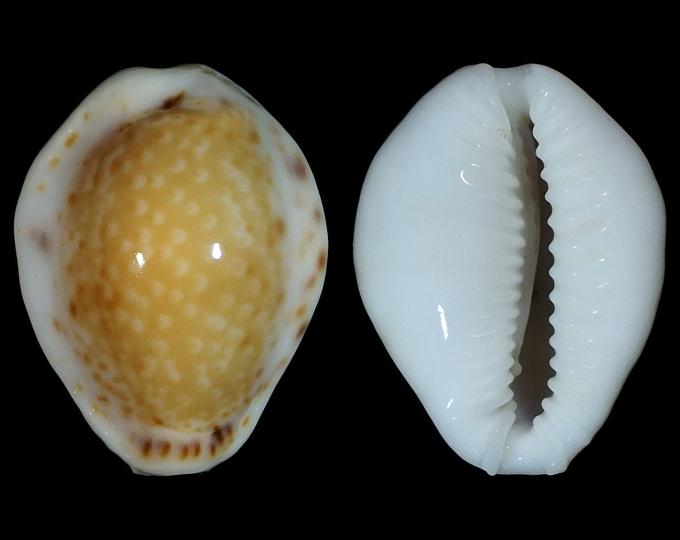 Picture of Naria acicularis acicularis var. marcuscoltroi