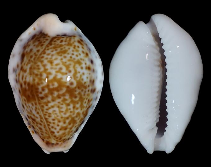 Image of Naria acicularis sanctaehelenae