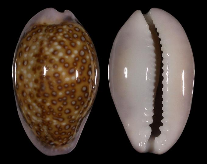 Image of Naria albuginosa f. nariaeformis