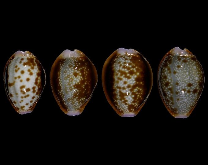 Image of Naria helvola argella