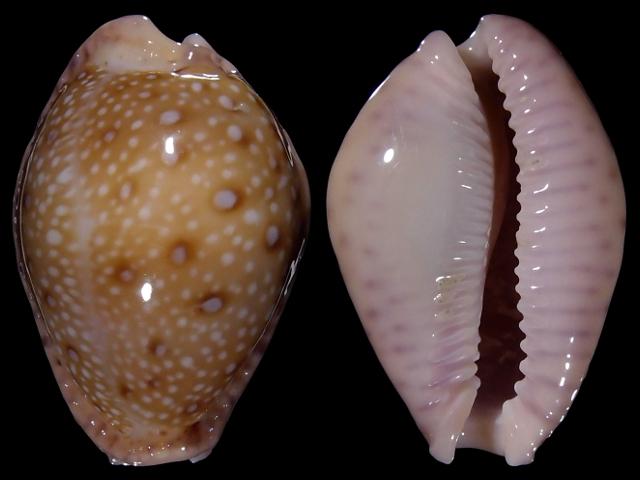 Image of Naria marginalis melocellata