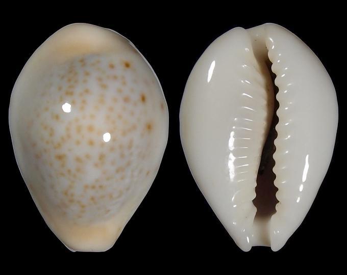 Image of Naria turdus turdus f. nivea