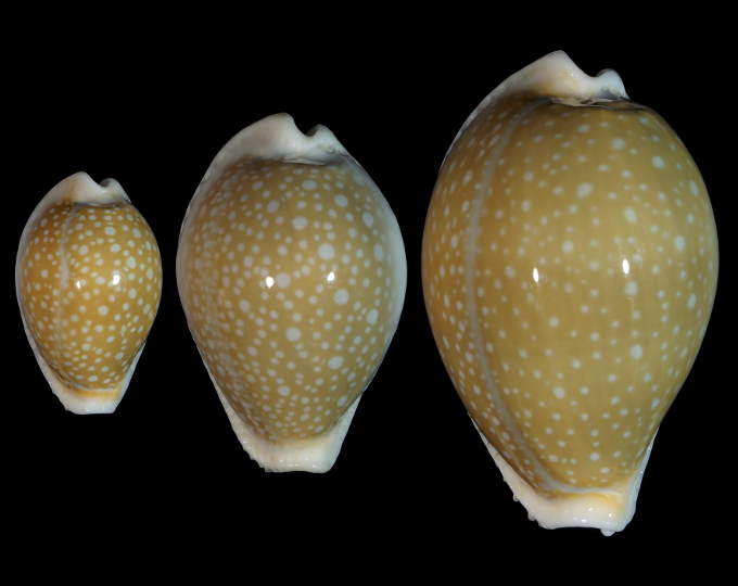 Picture of Naria miliaris miliaris