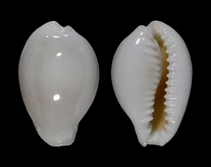 Image of Naria eburnea